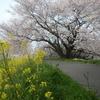 桜が咲いてる