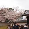 醍醐の桜!