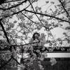 鮮やかな桜と、美女