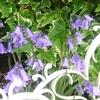 薄紫の花:ひと月前の写真ですが・・・