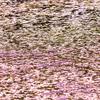 桜&チューリップ60万株の馬見丘陵公園