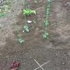 苗植えた 家庭菜園