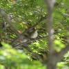 ジィちゃんと探鳥、早戸川林道の野鳥、ルリビタキはまだかッ!/2020-11-05