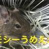 【小動物とお金】デグー飼育にいくらかかったのか?