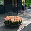 球根の楽しみ・・・オランダ・キューケンホフの庭