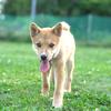MIXの子犬(生後約3か月)トーマの里親募集