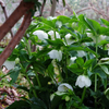 3月の庭 2019/芽吹き前の静けさと可憐に咲くクリスマスローズ