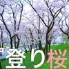 DJIと 桜ぶらり旅『登り桜』Japan cherry blossoms①