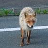 車で、道路(車道)に飛び出してきた「野生動物」をはねたりひいたりした場合でも、警察への事故の報告義務は車の運転手にあるのか?<動物愛護法、道路交通法第72条1項、器物損壊罪、鳥獣保護法>