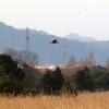 渡良瀬遊水地を飛ぶチュウヒ