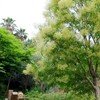 爽やかな白い花の木は