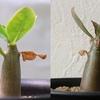 実生のアデニウム 種まきから4ヶ月