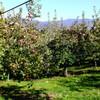 りんご畑へ寄ってみましたら  改訂 1