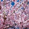 コンペイトウと桜