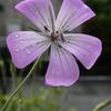 玄関先の花