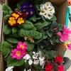 寄せ植え用の花を買いました
