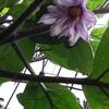 庭の植物 なんかヘン ナス