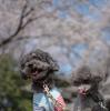 砧公園でお花見