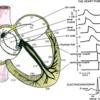 心臓の拍動を決定するキース=フラックの結節の発見