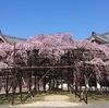 奈良県のおススメ桜スポット! 天理教協会本部の大しだれ桜