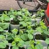 そろそろ夏野菜の育つシーズンですね☆