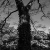 蔦からまる木