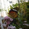 フジバカマに蝶と国連委報告「内部被ばく過小評価か」とIAEA