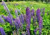 士幌線・十勝三股駅跡のルピナスは6月下旬が見ごろ。三股山荘のランチもおすすめ!