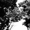 今日の1枚 河津桜が泣いていた
