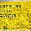 黄色のお花畑からヽ(^o^)丿