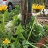 日本タンポポが庭に現る