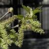 マルベリーの花らしくない地味な花が咲きました。桑の花はフラワーでなくブロッサム。