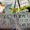 【ワクワク野菜作り!】芽キャベツとカリフラワー もしかして、病気?