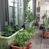 ベランダ菜園週報6月22日「収穫はじまりました。」