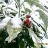湿っぽい、春型の「上雪(かみゆき)。