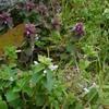 シロバナヒメオドリコソウ Lamium purpureum f. albiflorum