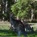 ゴールドコースト中心部からすぐ近く!!タダで野生のコアラとカンガルーが見れるクーンババ国立公園