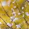 秋に咲くさくら 十月桜が咲いたよ。上野公園、飛鳥山公園。