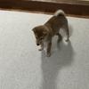 柴犬あきとの生活 39