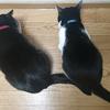 今日の黒猫モモ&白黒猫ナナの動画ー1060