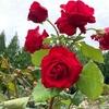☆お花 バラ 薔薇 & 猫