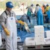 2018年6月2日 小浜漁港 お魚情報