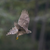 Goshawk Part1