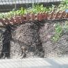 家庭菜園を再開!夏野菜を子どもたちと育てます!