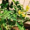 緑のミニトマトたち