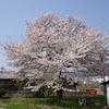 滋賀県)近江中庄桜めぐり