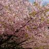 今年も早咲きの桜