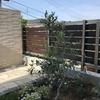 【シンボルツリーの定番】地植えした『オリーブ(ロシオーラ)』の2年間の驚異的な成長と開花!