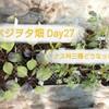 トマト・ナス・ピーマンの現状~播種から4週間、水やりの方法や植え替えは??~ベジヲタ畑 Day27