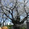 「だるまの桜」見てきました。樹齢750年にもなると凄いの一言